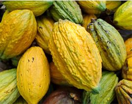 Pengolahan dan Pemasaran Kakao