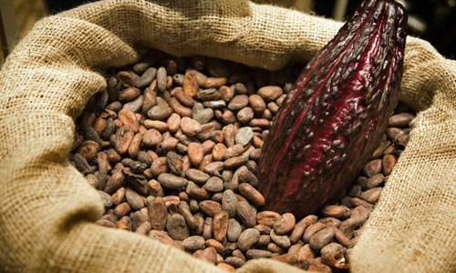 Komoditas Kakao Wajib Fermentasi Mulai 2016