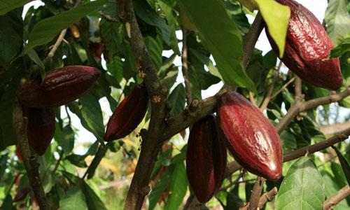 Dukungan Kemenprin kepada Kakao Fermentasi SNI