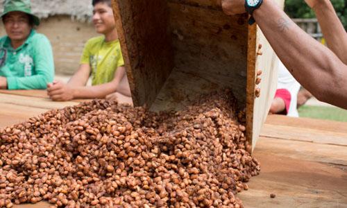 Teknologi Fermentasi untuk Meningkatkan Kualitas Biji Tanaman Kakao Indonesia